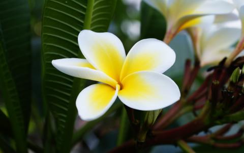 Plumeria macro photography, white and yellow wallpaper